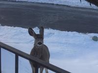 Deer_004