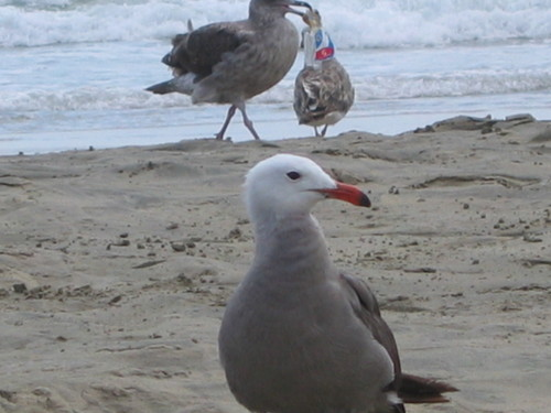 Handsome Seagull