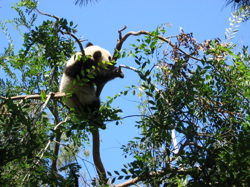 Baby Giant Panda up a tree