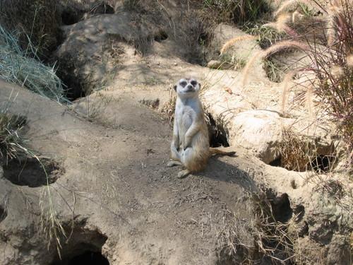 Meerkat I